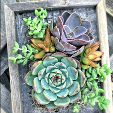 Living Succulent in a Frame